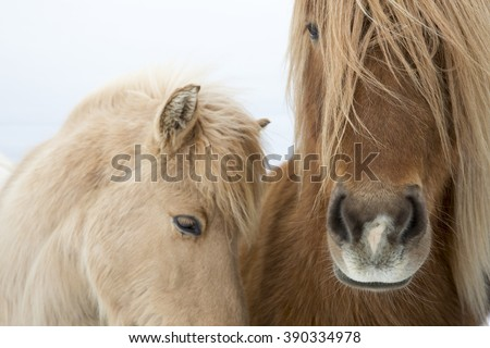 Portrait of Icelandic horses with long mane and forelock in winter - stock photo