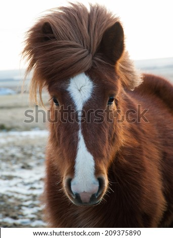 Portrait of Icelandinc horse outdoor in the winter time - stock photo
