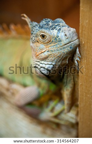 portrait of iguanas
