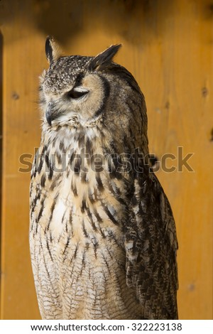 Portrait of Indian eagle-owl, Bubo bengalensis - stock photo