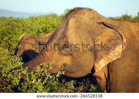 portrait of indian elephant in jungle - stock photo
