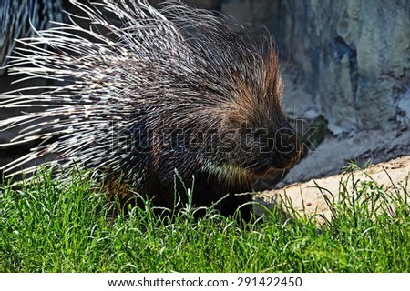Portrait of Indian porcupine in the wild