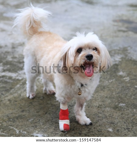 Portrait of Injured Shih Tzu wrapped by red bandage on front leg - stock photo