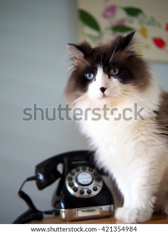 Portrait of Intense Beautiful Long Haired Bi-Color Brown White Blue Eyed Ragdoll Cat with a black button nose sitting with Vintage Black Rotary Phone on Wooden Side Table - stock photo
