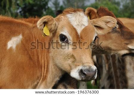 Portrait of Jersey calf - stock photo