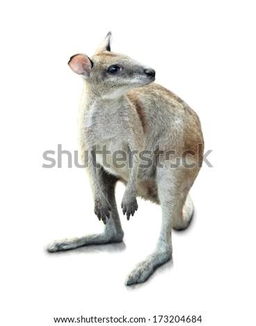 Portrait Of Kangaroo Isolated On White Background - stock photo