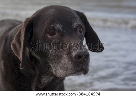 Portrait of Labrador retriever, close-up