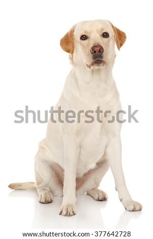 Portrait of Labrador retriever on a white background - stock photo