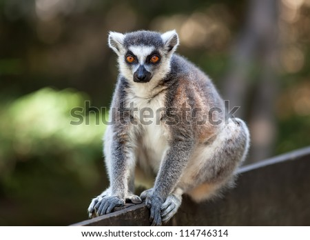 Portrait of lemur catta (ring tailed lemur)
