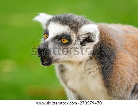 Portrait of lemur katta calling others group members - stock photo
