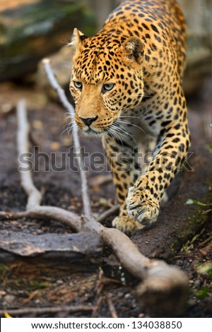 Portrait of leopard in its natural habitat