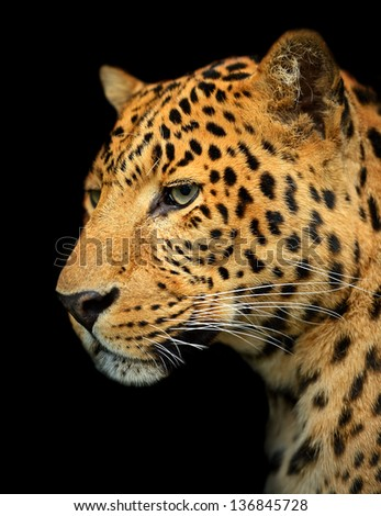 Portrait of leopard in its natural habitat - stock photo