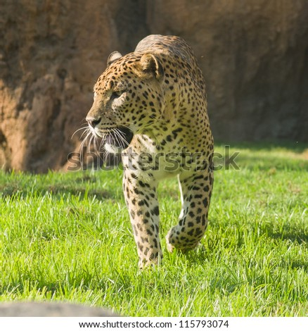 Portrait Of Leopard, Outdoor - stock photo