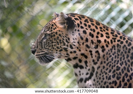 Portrait of leopard (Panthera pardus) seen from profile - stock photo