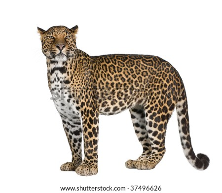 Portrait of leopard, Panthera pardus, standing against white background, studio shot
