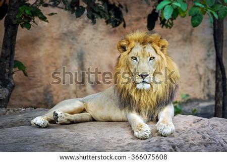Portrait of lion. - stock photo