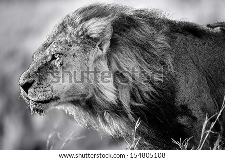 Portrait of Lion Clawed with flowing mane. He is the oldest and most powerful lion from the Marsh Pride in Masai Mara, Kenya - stock photo