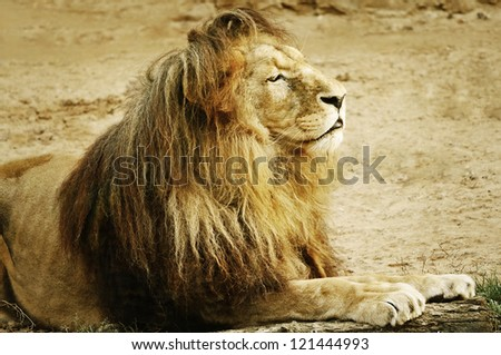 Portrait Of Lion Lying On The Sand