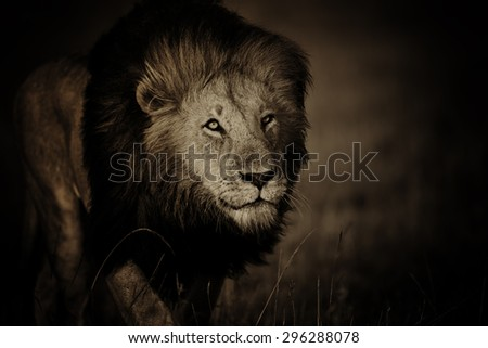 Portrait of Lion Notch II in Masai Mara, Kenya - stock photo