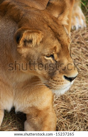 Portrait of Lioness - close up