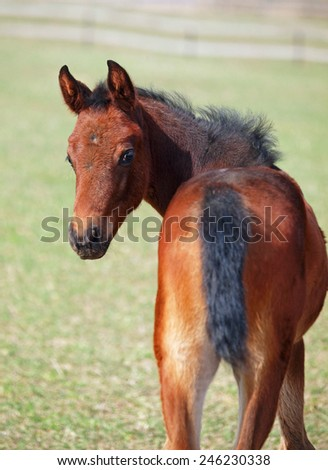 Portrait of little bay foal  on green spring meadow background - stock photo