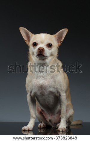 Portrait of little Chihuahua dog Sitting on Blue background - stock photo