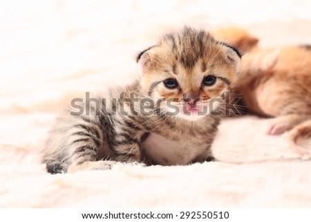 portrait of little cute kitten, close up - stock photo