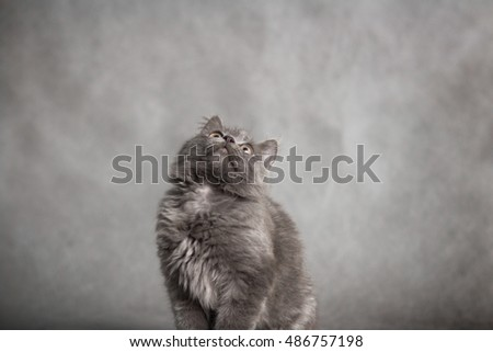Portrait of little fluffy ash fluffy kitten on a black background