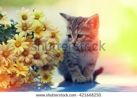 Portrait of little kitten looking at bouquet of daisy flowers - stock photo