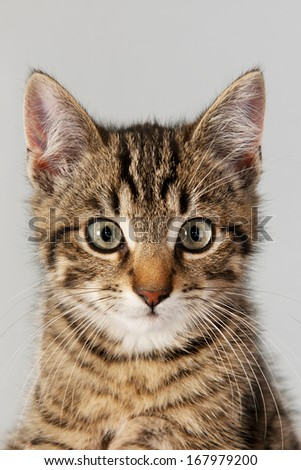 Portrait of little striped cat on gray background - stock photo