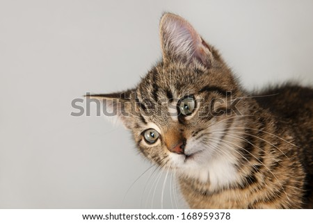 Portrait of little striped cat on gray background