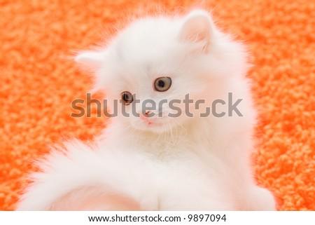 Portrait of little white cat at orange carpet - stock photo