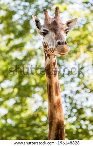 Portrait of long Giraffe on green blurred background - stock photo