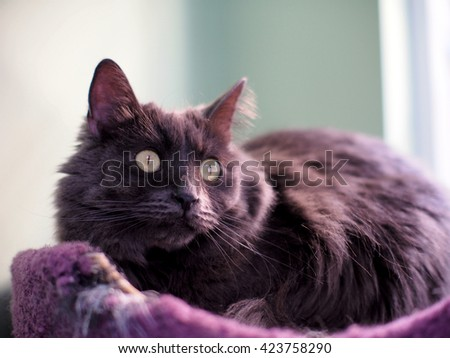 Portrait of Long Hair Grey Fur Russian Blue Cat with Yellow Eyes Laying in Cat Bed  - stock photo