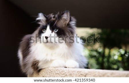 Portrait of Long Haired Bi-Color Brown White Blue Eyed Ragdoll Cat with a black button nose and Long Whiskers Sitting on Ledge - stock photo