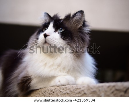 Portrait of Long Haired Bi-Color Brown White Blue Eyed Ragdoll Cat with a black button nose laying on floor - stock photo