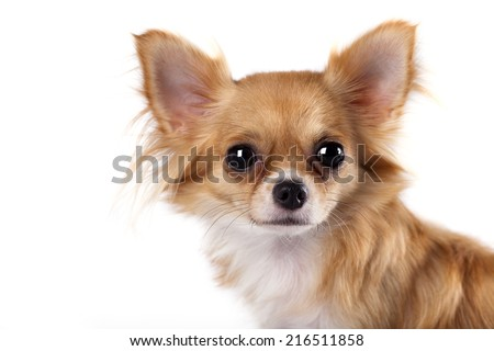 portrait of long-haired Chihuahua hua - stock photo