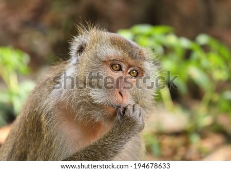 Portrait of Long tailed Macaque, Bonnet Macaque  (Macaca fascicularis), Thailand