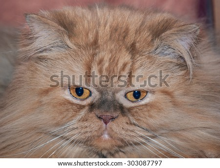 Portrait of Longhair Persian cat with his forehead, nose and chin in vertical alignment
