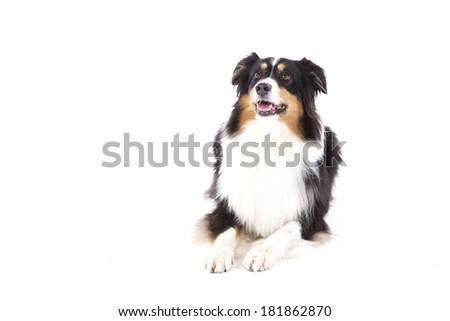 Portrait of lying australian shepherd - stock photo