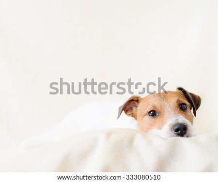 Portrait of lying calm pet. Jack Russell Terrier looking into camera