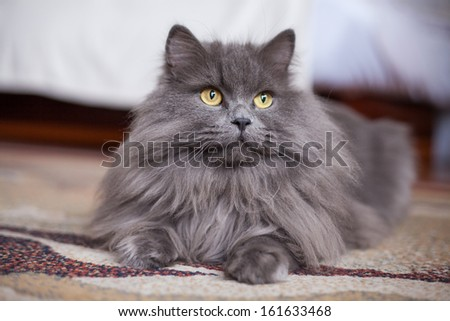Portrait of lying young siberian cat. - stock photo