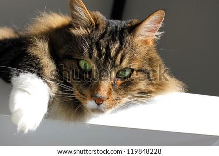 Portrait of Maine Coon cat - stock photo