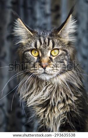 Portrait of maine-coon cat - stock photo