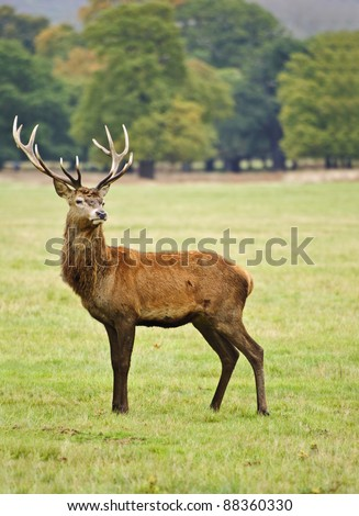 Portrait of majestic powerful adult red deer stag in Autumn Fall forest - stock photo