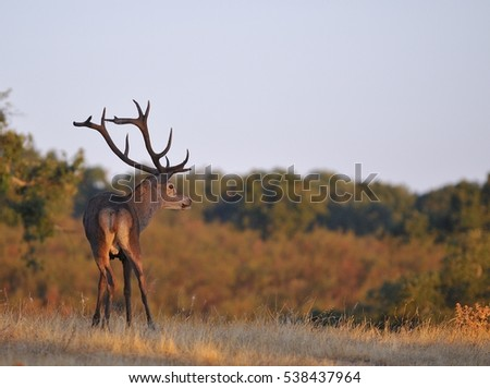 Portrait of majestic powerful adult red deer stag in autumn meadow.