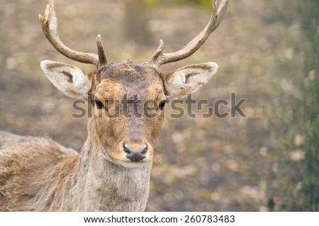 Portrait of majestic powerful red deer stag in Autumn Fall forest