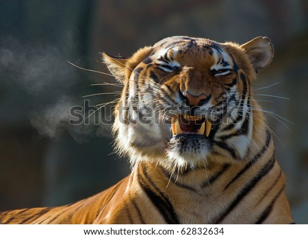 portrait of malaysian tiger with open mouth