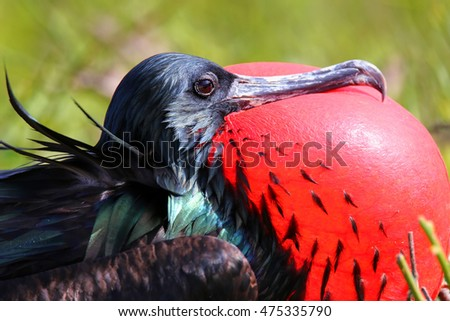 Portrait of male Great Frigatebird (Fregata minor) on Genovesa Island, Galapagos National Park, Ecuador