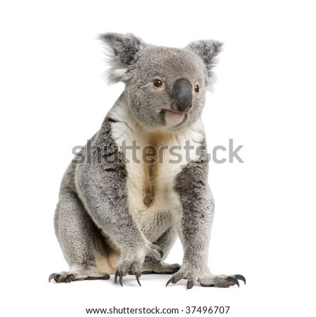 Portrait of male Koala bear, Phascolarctos cinereus, 3 years old, in front of white background, studio shot